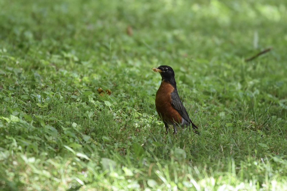 The American Robin ( Turdus migratorius )