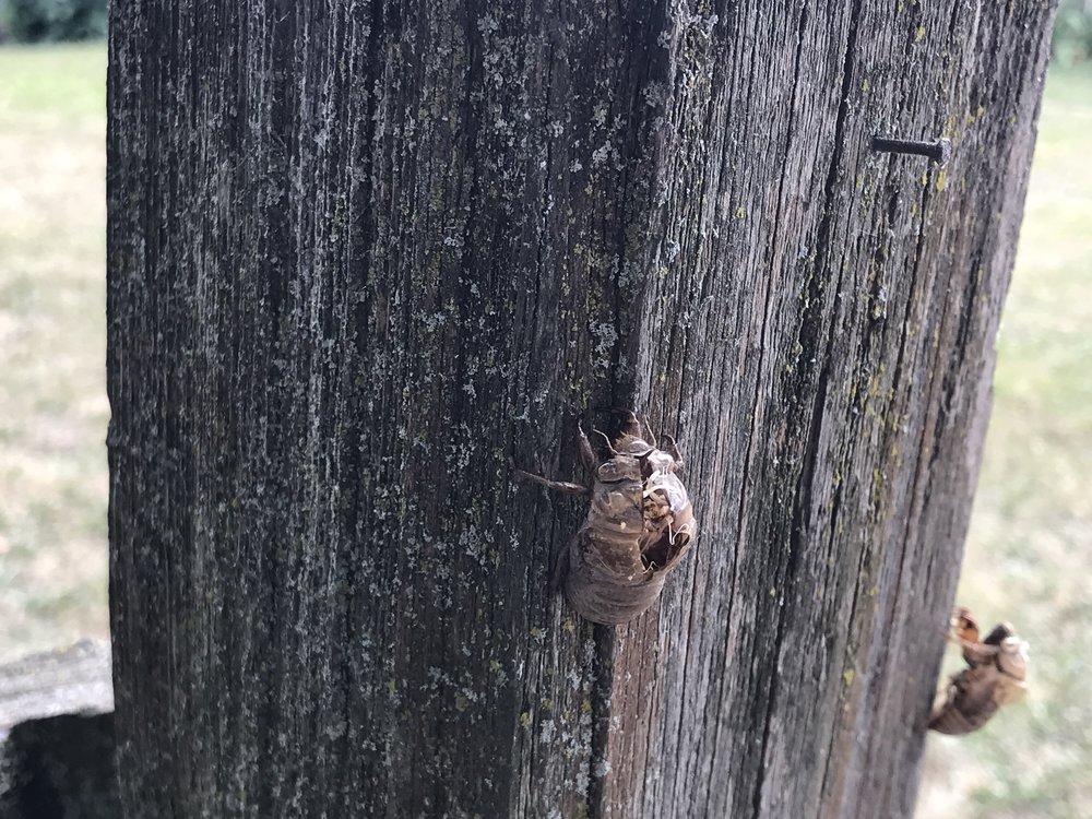 Neotibicen linne ( Cicada )