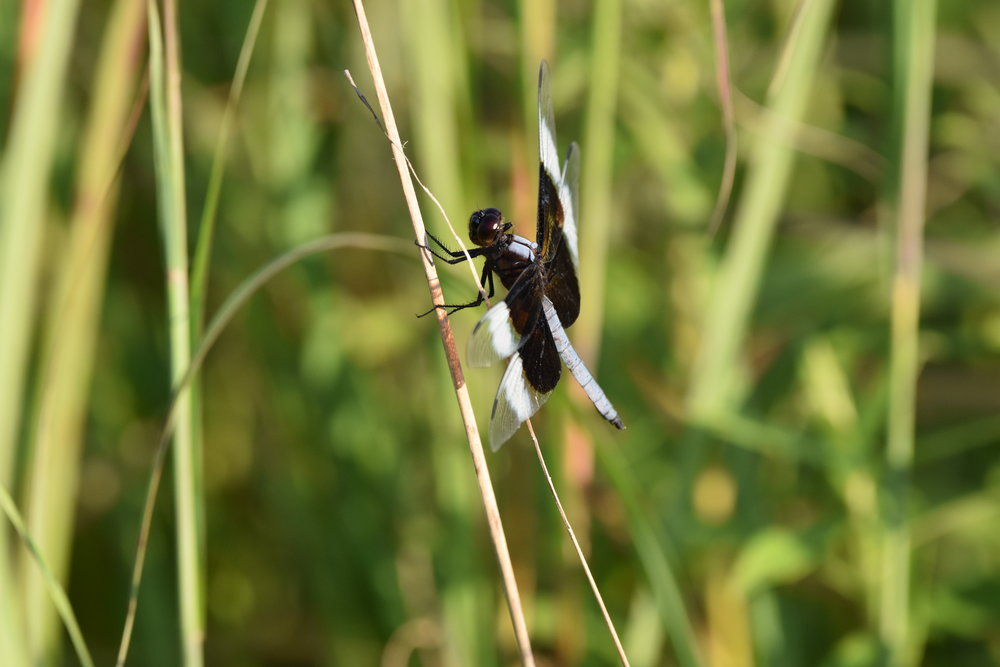 Dragonfly photo near the pond at the John A Wannemacher Nature Reserve