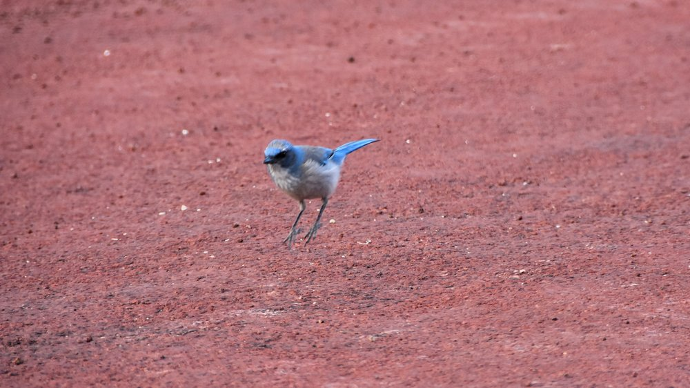 Woodhouse's Scrub-Jay (  Aphelocoma woodhouseii )