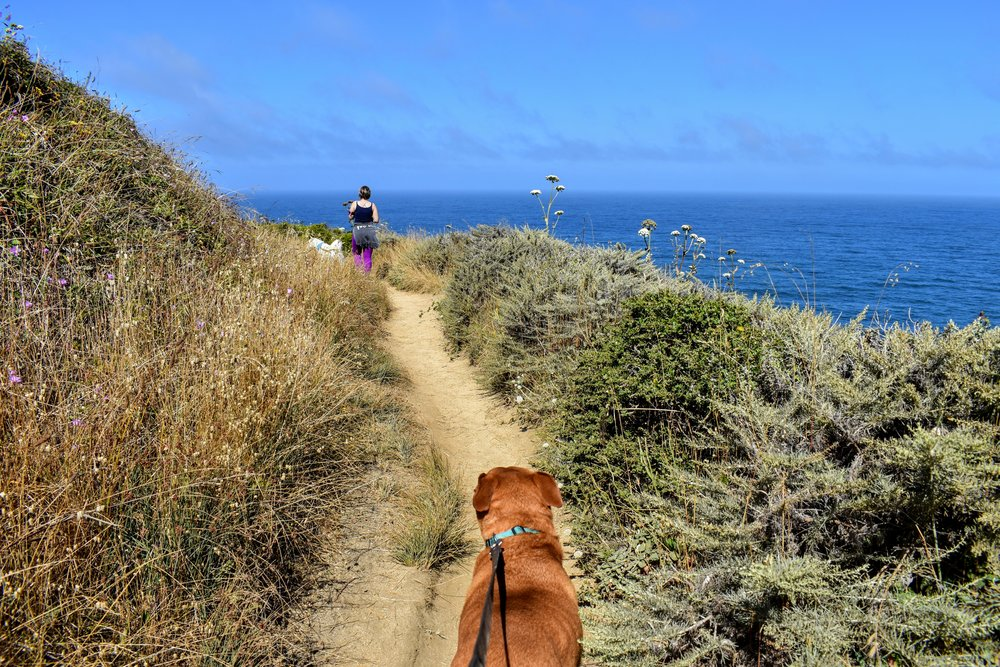 The Gray Whale Cove trail is well maintained on the hillside above overlooking the Pacific Ocean. Mowgli shown for scale.   © 2017 Copyright All rights reserved - TheHikingCompanion.com