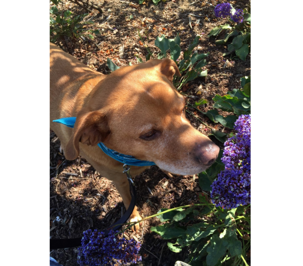 Mowgli taking the time to smell the flowers in Mission Bay Commons Park in San Francisco, CA.© 2017 Copyright All rights reserved - TheHikingCompanion.com