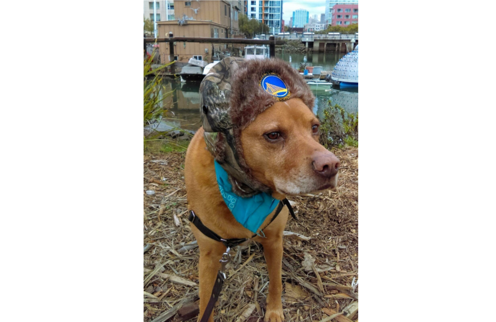 Mowgli showing his disapproval of wearing a harness. The Warriors hat is optional hiking gear, though the bandana is ESSENTIAL. © 2017 Copyright All rights reserved - TheHikingCompanion.com