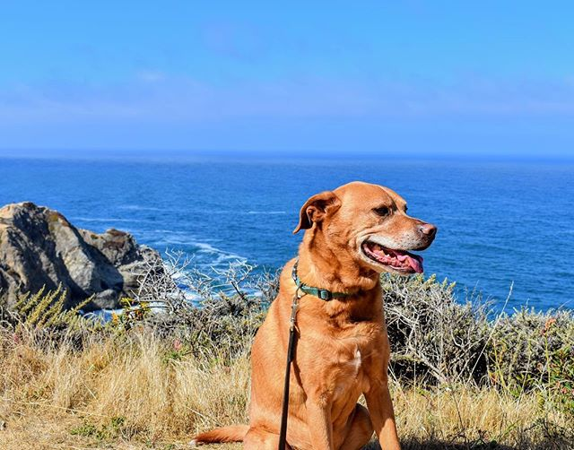 A beautiful weekend on the #pacificcoast -- #MowgliTheDog soaked up the sunshine on Gray Whale Cove Trail near #Pacifica and #Montara. For more pics, click the link in @thehikingcompanion bio or go to TheHikingCompanion.com. See you on the trail! #dogs #dogsofinstagram #hikingdog #hikingwithdogs #hiking #hikingadventures #hikingdogs #norcalhiking #norcalhikes #doghikers #doghike #doghikes #californiaadventure #californiahiking #hikenorcal #hikewithdogs #hikewithyourdog #california #californiaadventure