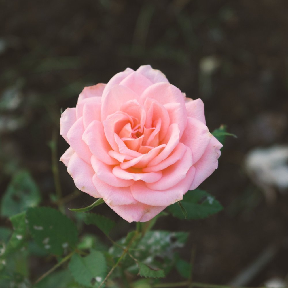 Image Description: Close up of a pink rose in full bloom on a bush in the forest.