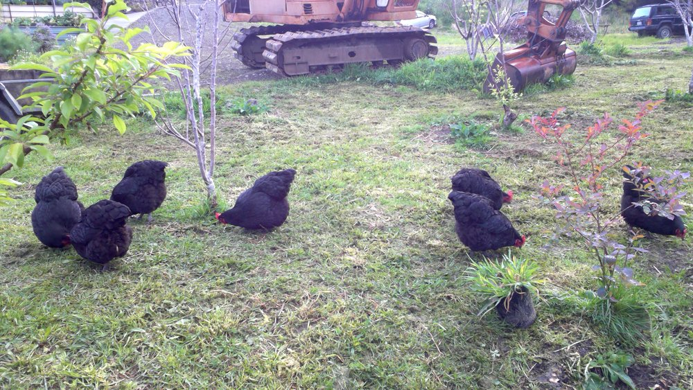 The Chickens