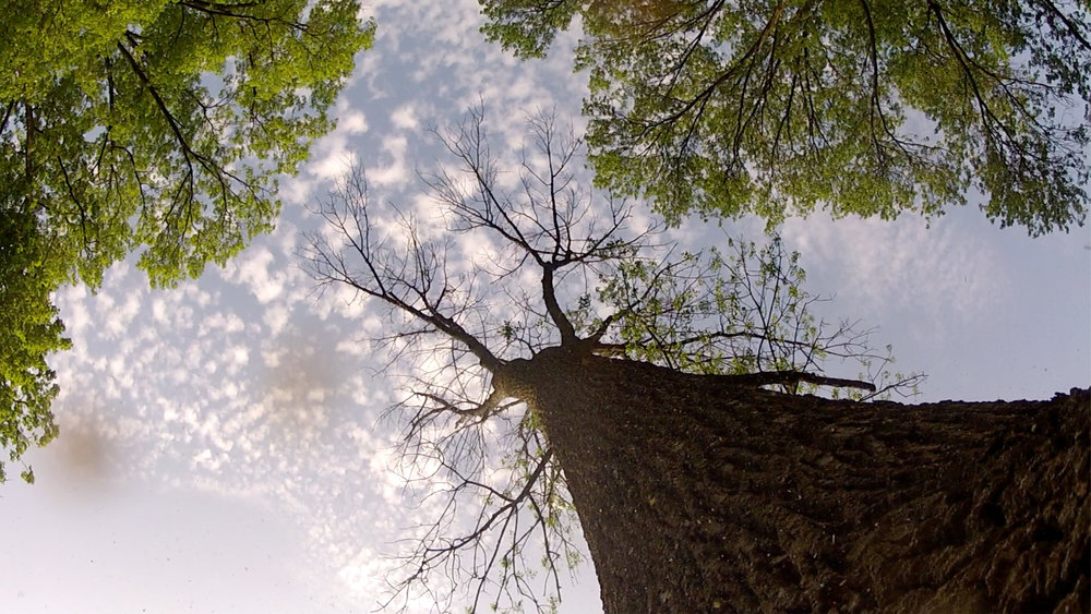 Trees In Trouble - Trees in Trouble tells the story of America's urban and community forests: their history, their growing importance to our health, economy and environment - and the serious threats they now face.