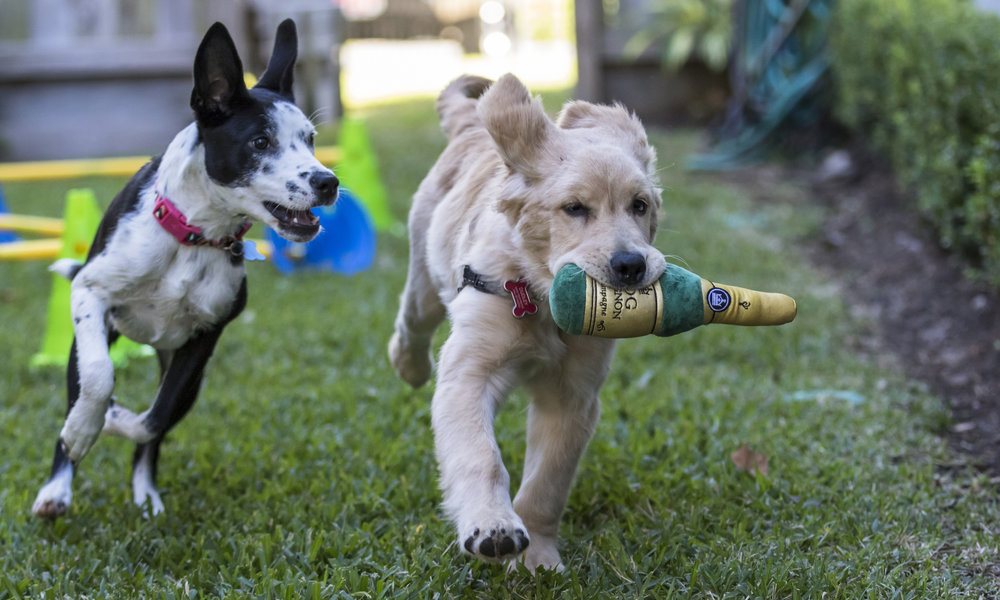 Puppy Training - As Houston's original puppy experts, we have created a wide variety of options to take advantage of the most crucial socialization and learning period in a dog's life.