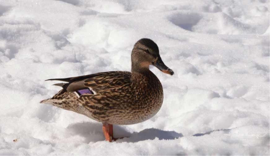 winter-wildlife-duck.jpg