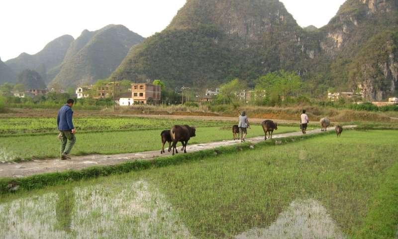 汞通过当地工业活动和烧煤进入稻米。Credit: David Wood