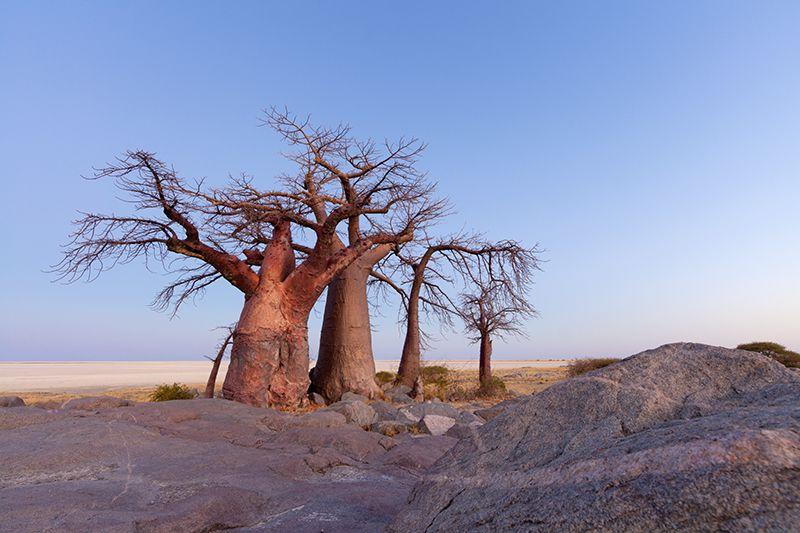 非洲的猴面包树。Credit: Hougaard Malan/naturepl.com
