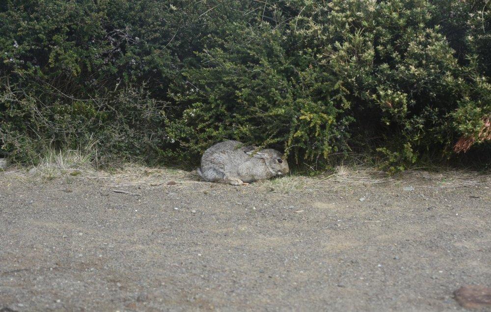 岛上的野兔
