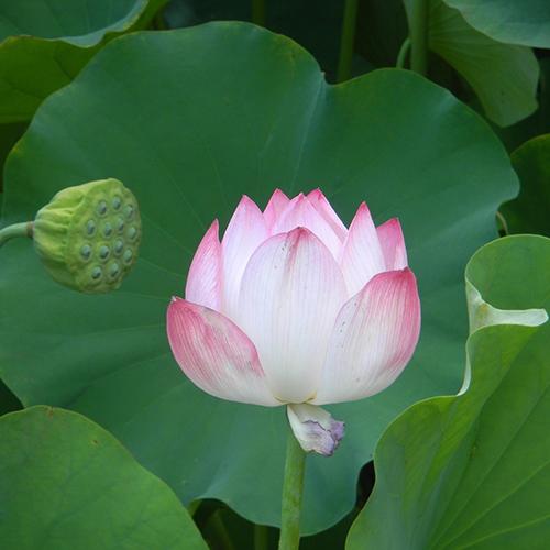 karin-kehrer-geburtsvorbereitung-lotusbluete.jpg
