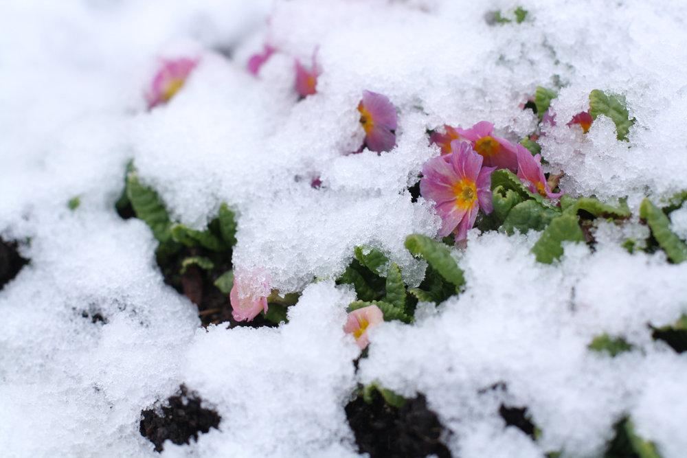 B16_Apr07_Snow_FlowersR.jpg