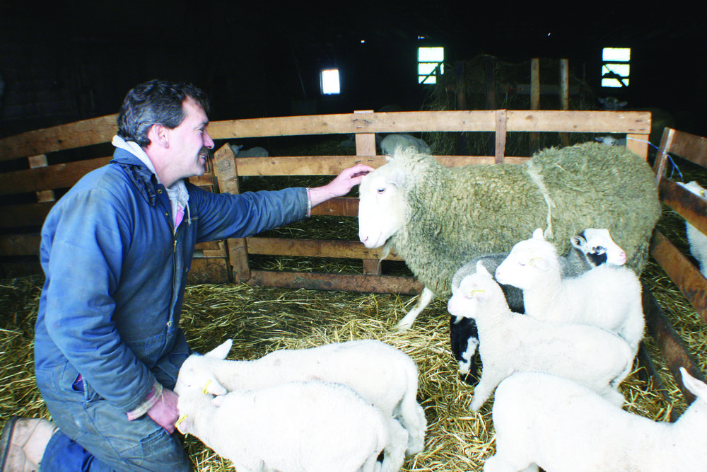 Sheep producer Murray Deman tends to his flock recently. Shown here, he has a special pat for one of the two ewes that gave birth to five lambs this year. (Joan LeBlanc photos)