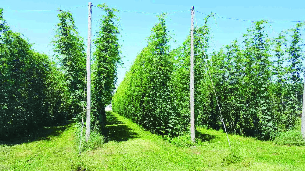 Hop plants, such as these at the Brooks-Bridge Hops farm near Grand Falls, N.B., can grow as tall as five metres, but don't grow tendrils as true vines do. (Submitted photo)