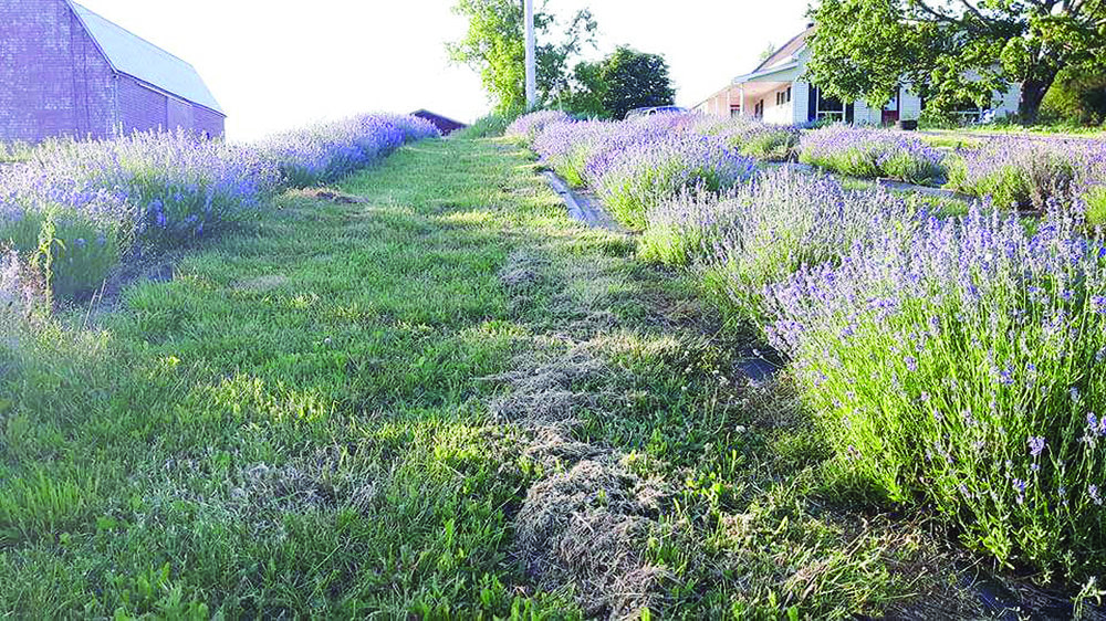 "Growing lavender on a slope helps with drainage and prevents ""wet feet"" which can kill lavender plants. (Submitted photo)"