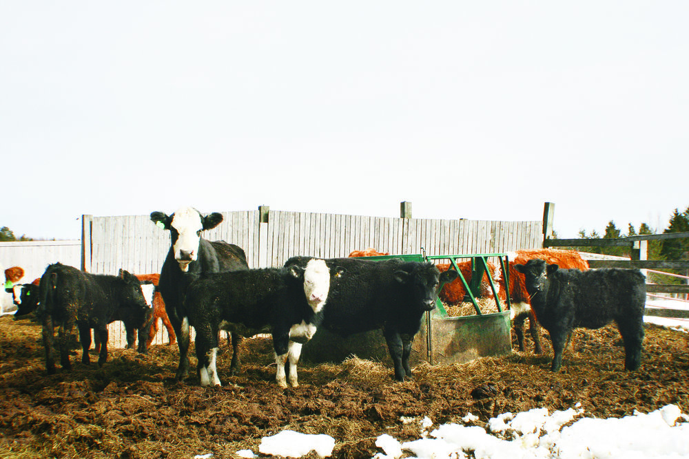 The Boudreaus usually have between 120 and 150 head of cattle on their farm at any given time. (Joan LeBlanc photo)