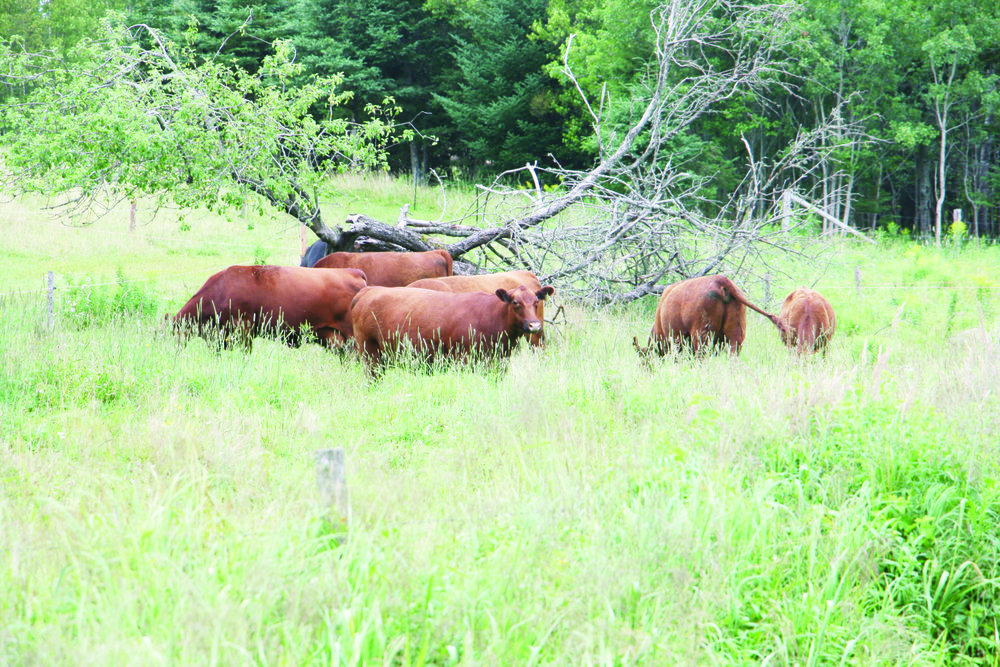 The Maritime Angus Association and the Kings County Soil and Crop Improvement Association sponsored a pasture tour on July 28. The first stop was the farm of Linda and Dale Lackie in Southfield, N.B. Some of the farm's Red Angus cattle are shown here on pasture. (George Fullerton photos)