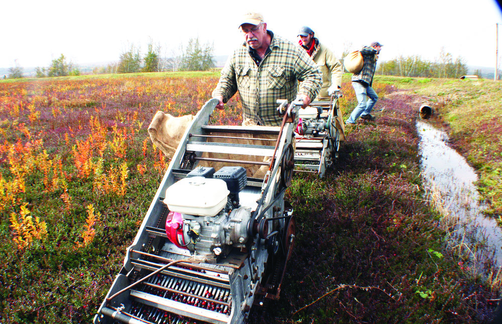 Dry-harvesting cranberries by hand machine is labour-intensive, but it allows the operator to have more control over the harvest. The machines are self-propelled and move along steadily, always in the same direction as the vine growth. The machines pluck the berries, feed them upward, and deposit them in burlap bags at the rear of the machines. A helper follows close by to continually remove and replace filled bags.