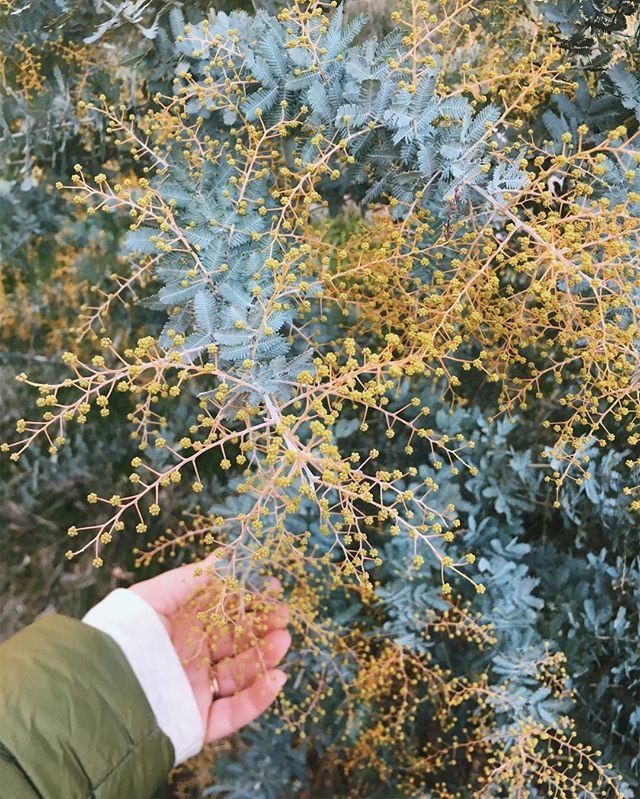 Wattle promise 🌕💫🌿