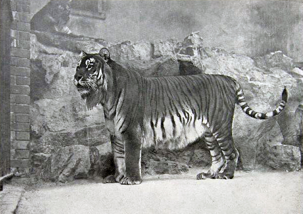 The Caspian Tiger at the Berlin Zoo.