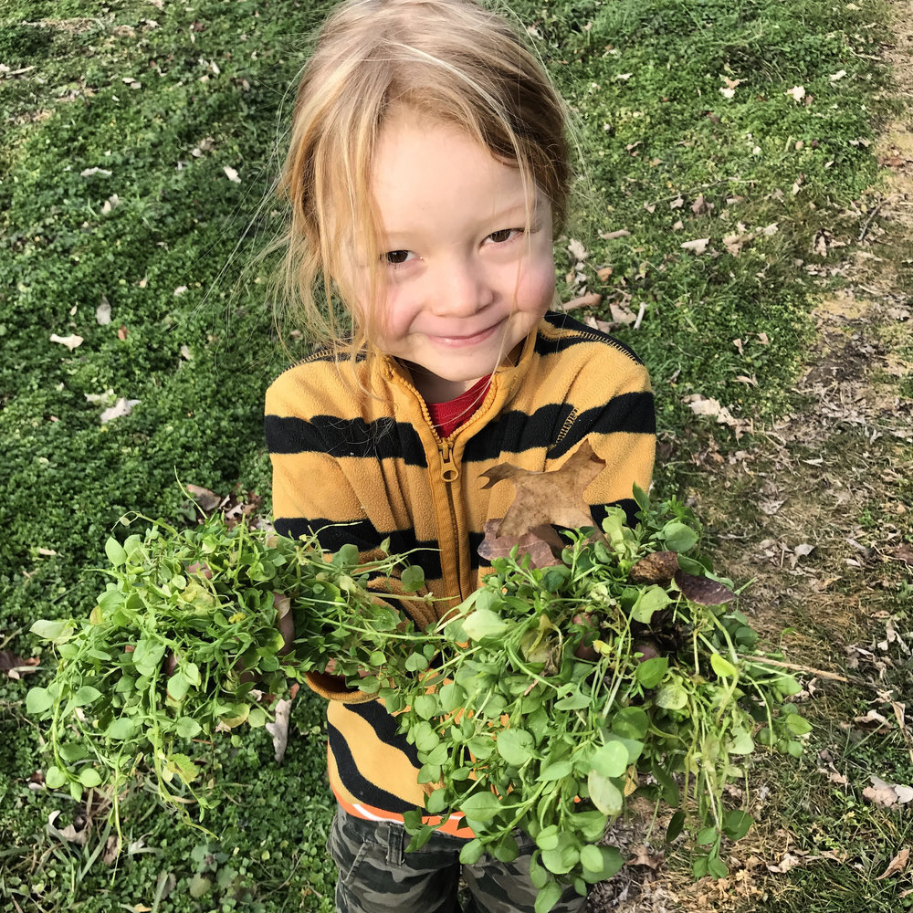 Quehanna harvesting chickweed at Lancaster Farmacy.