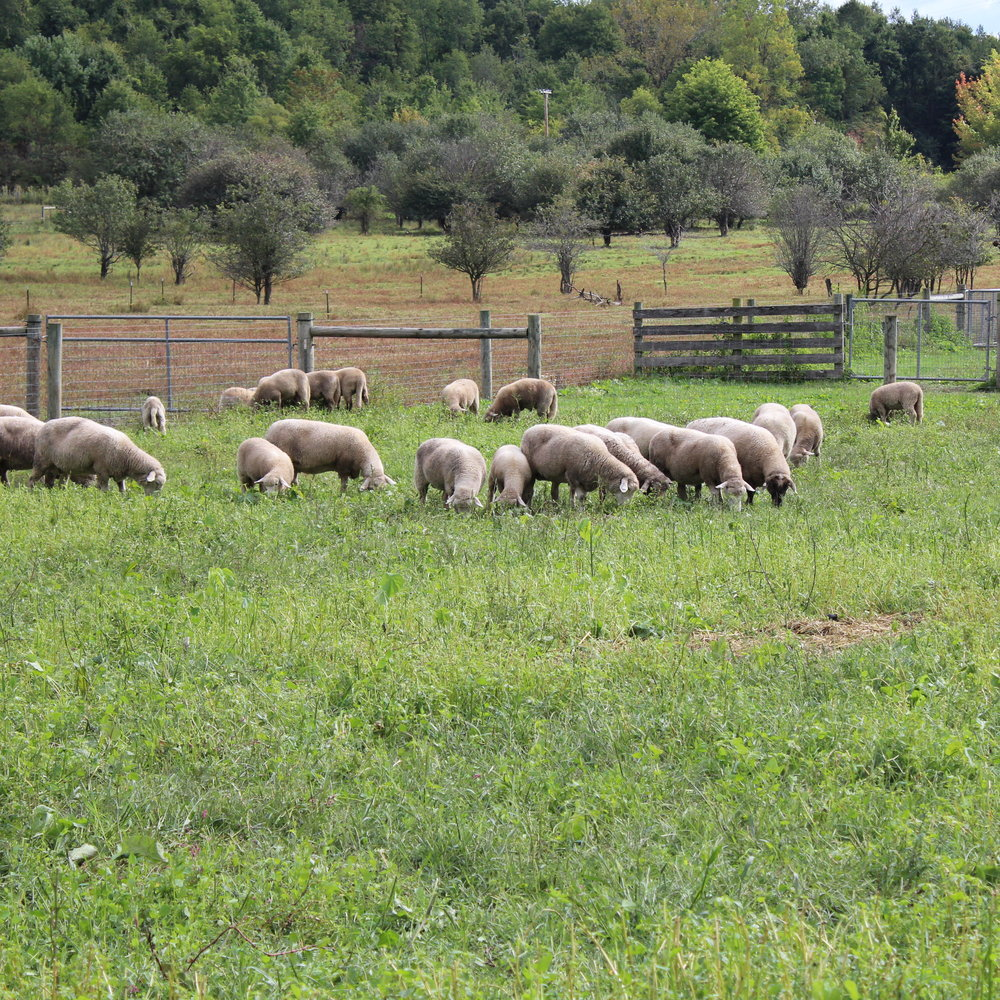 Grass-Fed Lamb - Our lambs are born in two batches (around March and June—no winter lambing) and are finished on pasture or forage (hay/haylage). Like our beef, our ewes and lambs are on pasture 100% of the time—and both they and the pastures are much better for it!