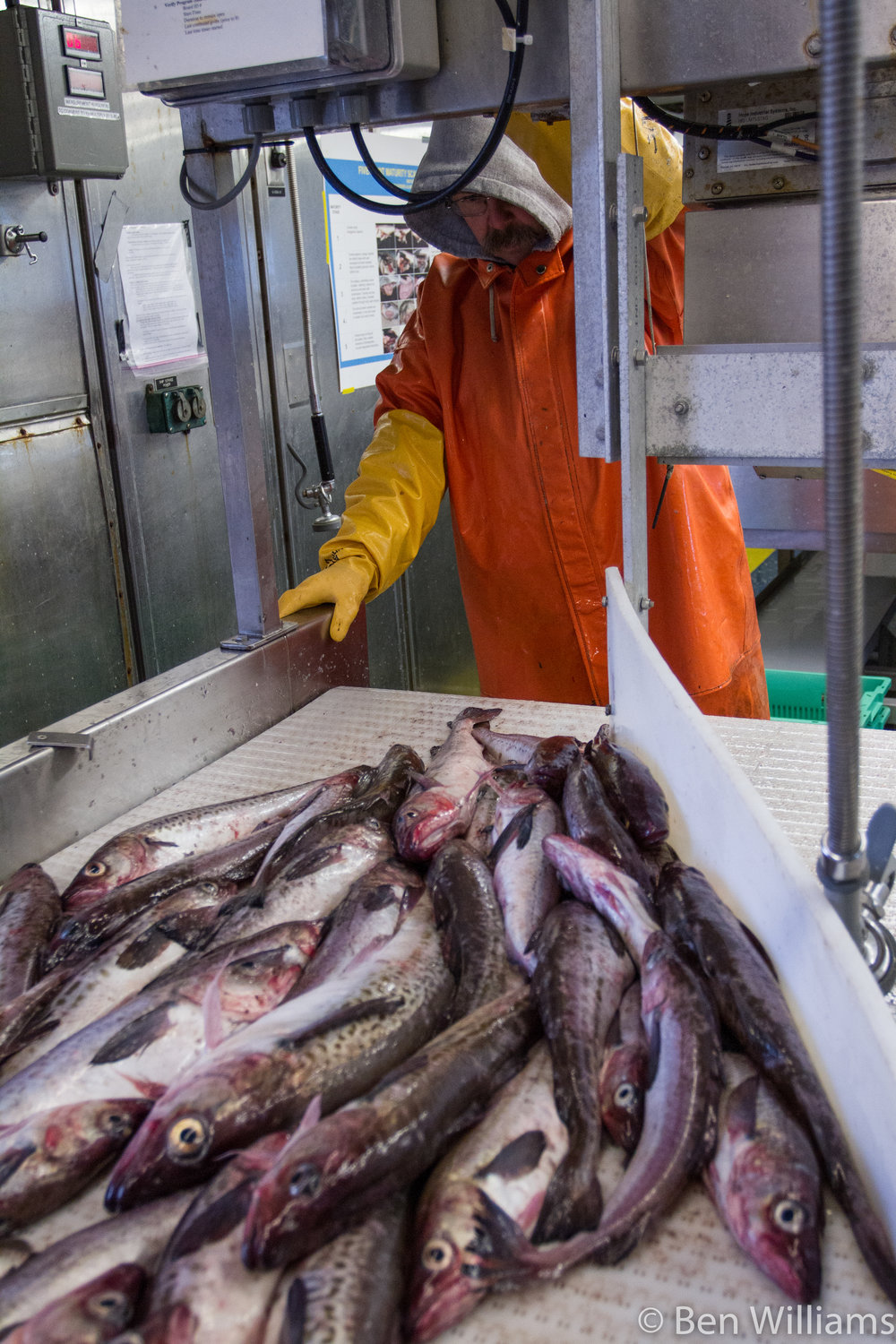 Pollock being processed. Photo by Ben Williams ADF&G