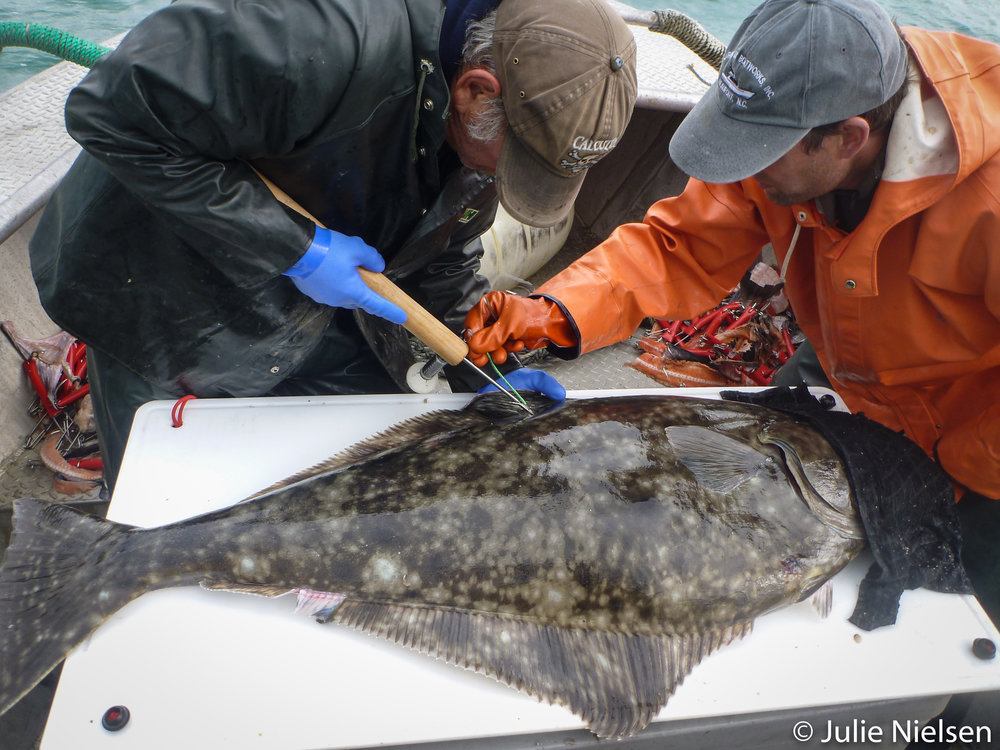Scientists attaching tag to Pacific halibut. Photo by Julie Nielsen