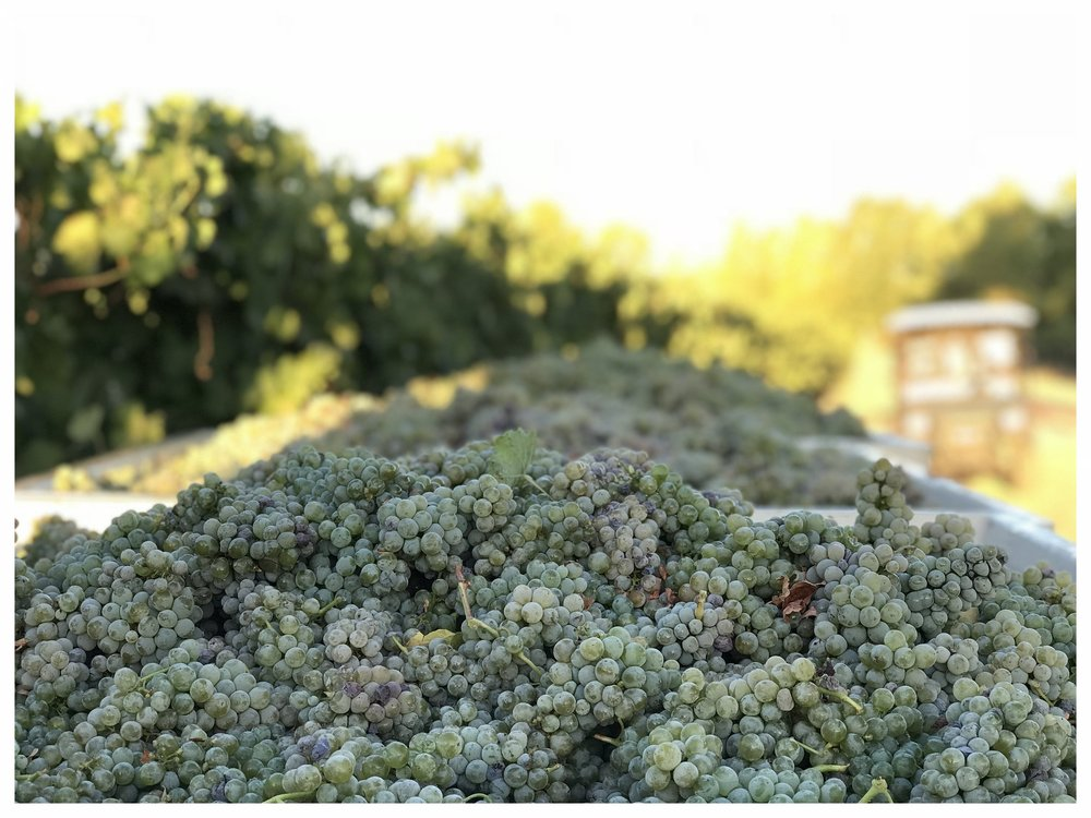 First pick of our Sauvignon Blanc from ONX Estate on September 13th.