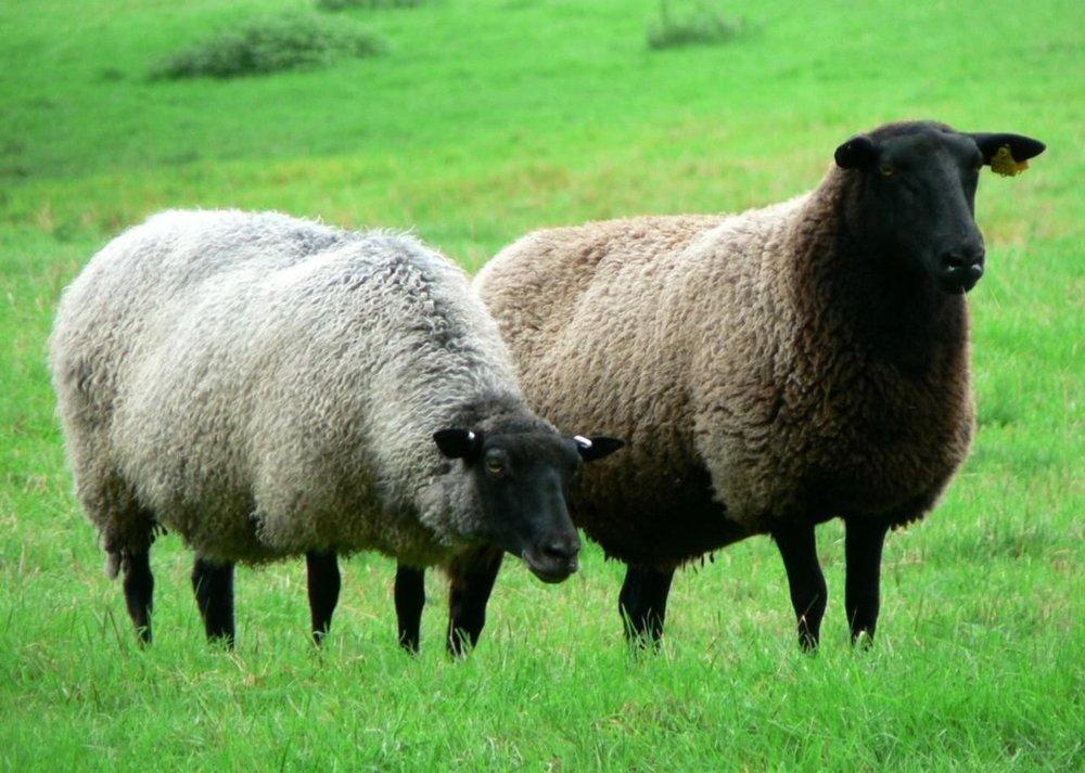 black-headed-sheep.jpg