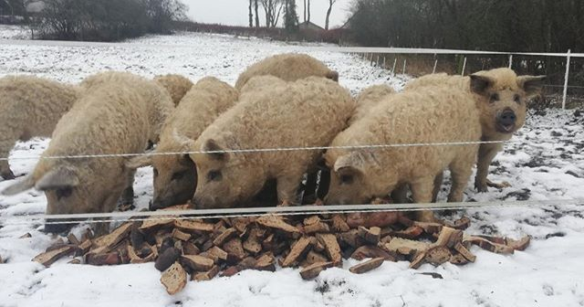 Lunchtime in the snow. Besides foraging for roots and insects, our pigs play a big part in the farm's sustainability because they eat and recycle surplus vegetable, scraps and stale bread.  #farmofideas #heritagebreed #freerangepigs #mangalitsa