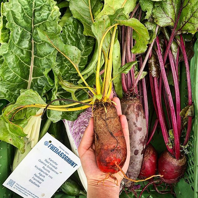 A throwback to our #fridaygreens box from summer. We were so happy that @row7seeds shared their amazing seeds for 'badger flame beet' with us, so we could grow it for Copenhagen!☀️ Tonight we have arrived at the home of @row7seeds in New York! Ready to attend the Young Farmers Conference at @stonebarns 🌱  We love belonging to a community that strives to come together, share knowledge and empower young farmers around the world! 🥬  We will post updates of the conference via our story and you can watch select workshops from @StoneBarns #YFC18 on FB Live: www.facebook.com/stonebarns