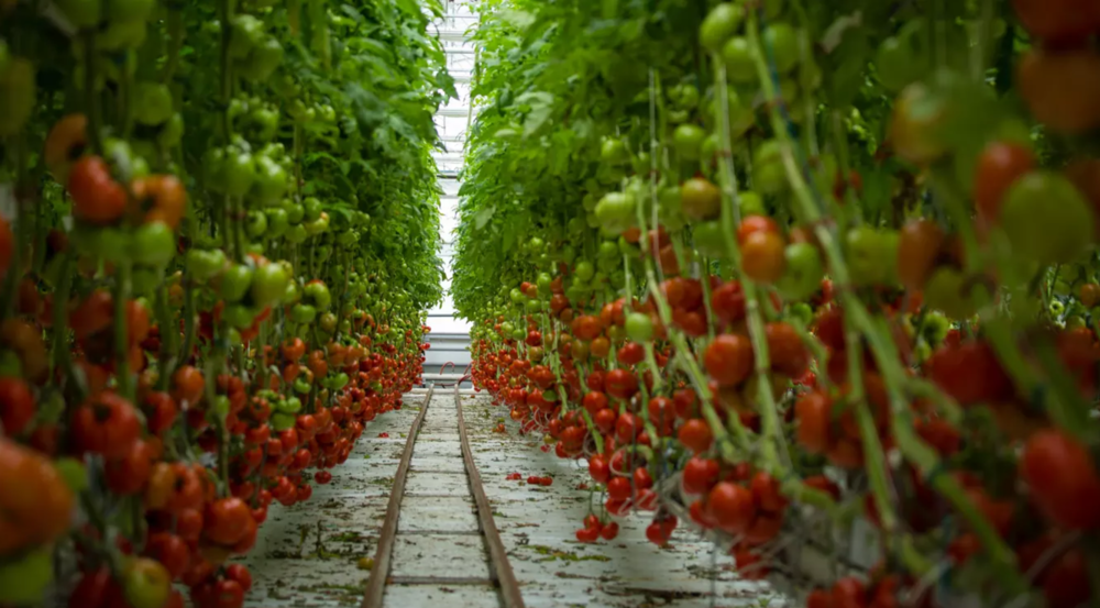 Tomato growing at Lufa Farms, the world's first commercial rooftop greenhouses, in Montreal. Picture: Lufa Farms/Wikimedia