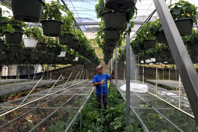 Hector Santiago, a horticulturist, waters plants at his nursery that is powered by solar energy, after Hurricane Maria hit Puerto Rico in Barranquitas, south of San Juan, Puerto Rico, October 3, 2017.
