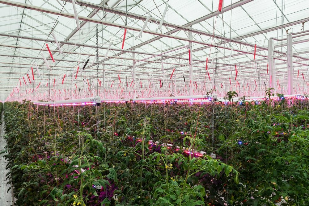 Thanks to c led well now have italian tomatoes in winter too agritecture