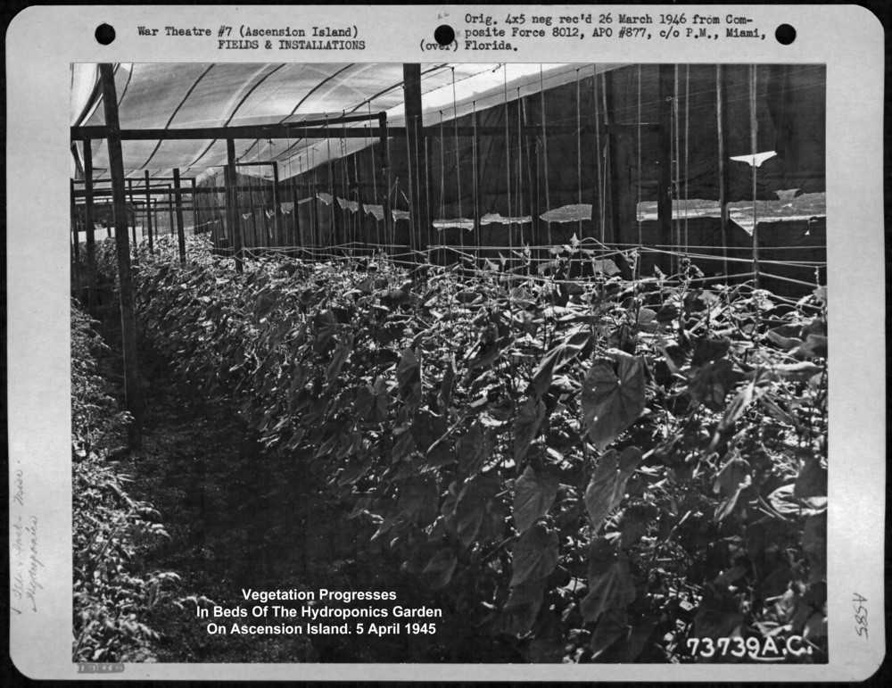 Tomato plants in U.S. Military Pacific Theatre Hydroponics Greenhouses