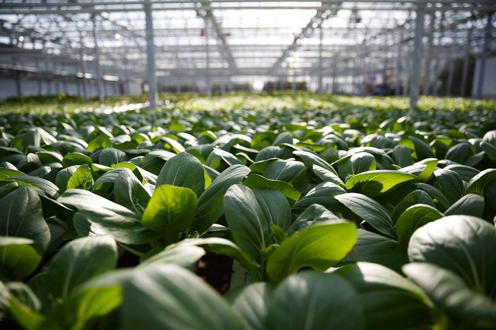 Lufa's produce is grown just kilometres from their customers in Montreal's concrete jungle.(Lufa Farms)