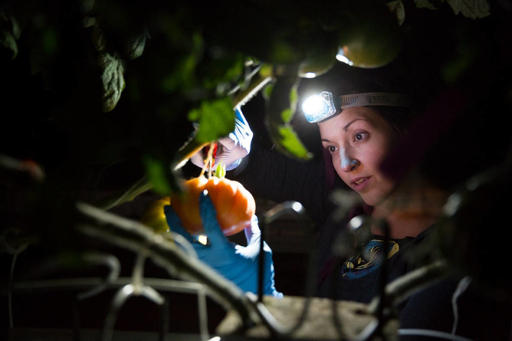A Lufa employee harvests vegetables at night.(Lufa Farms)