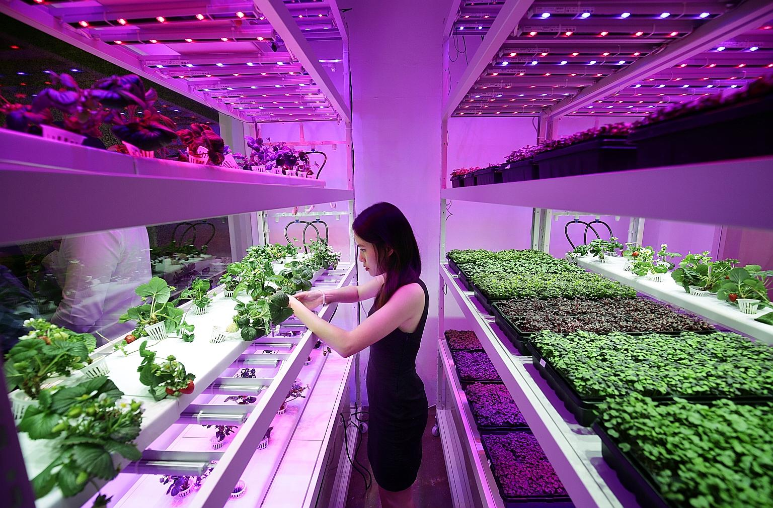 Urban Farming In Singapore Continues to Expand, Now With Strawberries