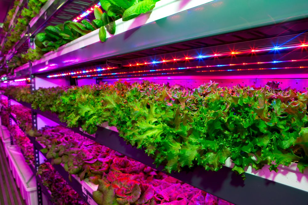The state-of-the-art facility will harvest three US tons (2,700 kg) of herbicide-free and pesticide-free leafy greens daily.