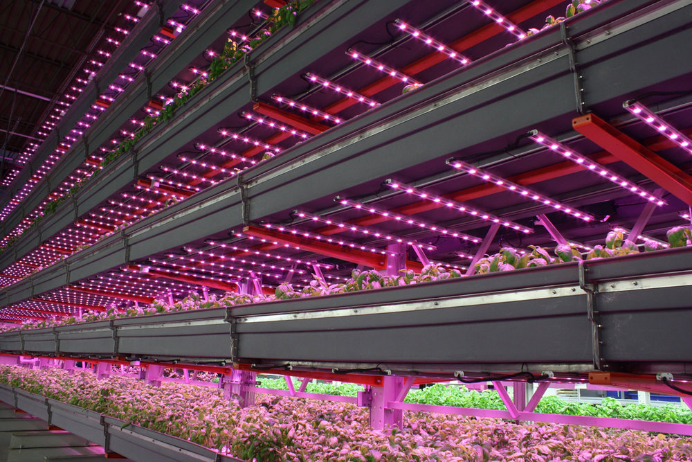 LEDs lighting an indoor farming operation. (Photo courtesy of Agritecture.)