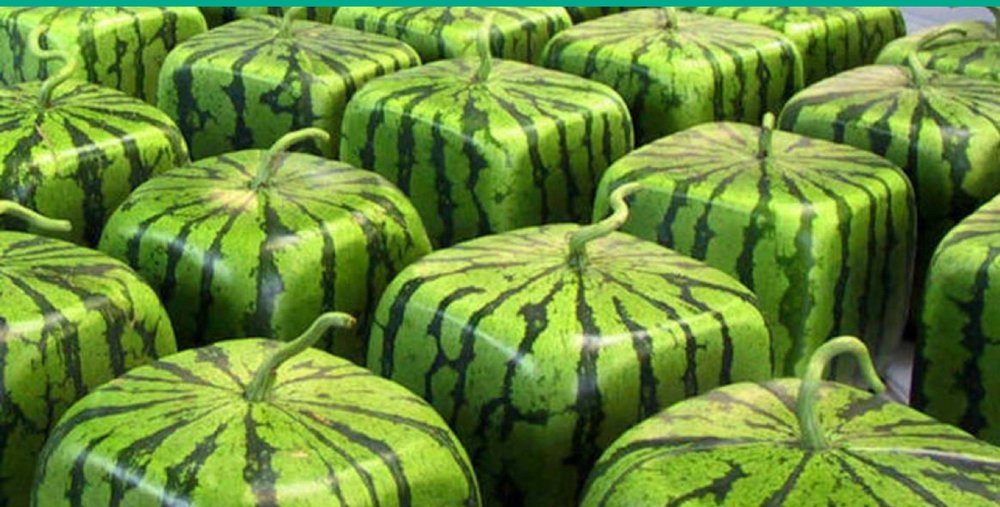 Square watermelons for sale in a Tokyo department store.