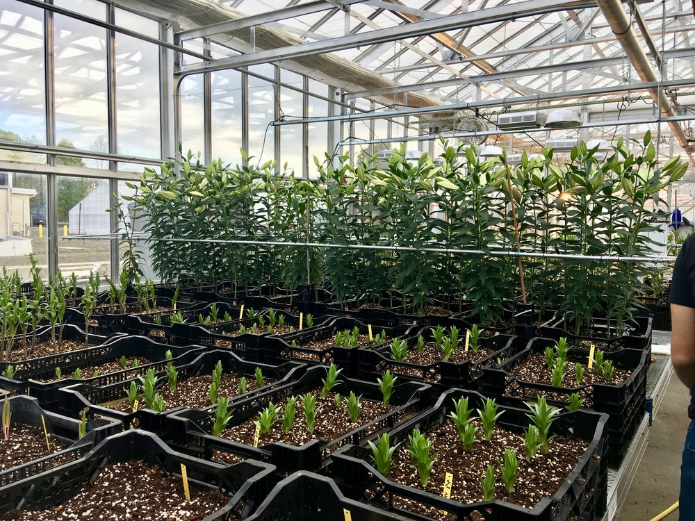 A plant experiment in the Kenneth Post Laboratory greenhouse at Cornell University.