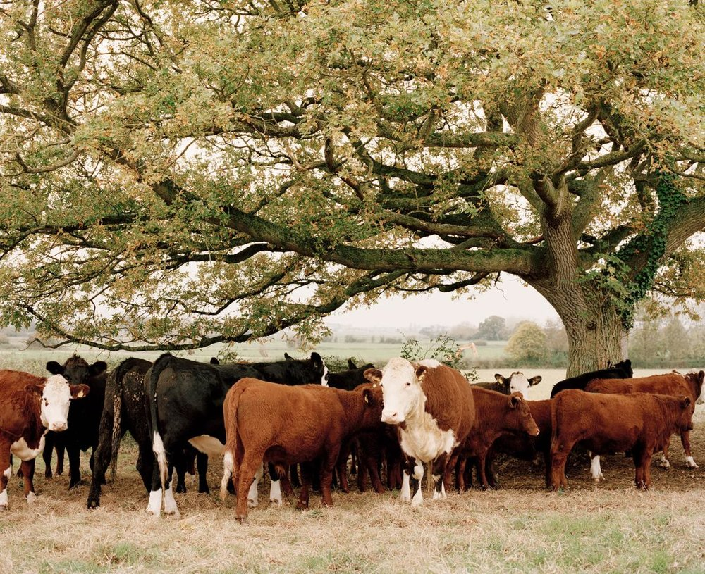 In Somerset, England, Glebe Farm has been run by the Walrond family for over 200 years. Along with sheep, hens, and pigs, the farm raises native breeds of beef cattle.