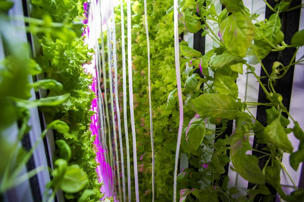 Leafy greens grow vertically in a controlled environment using LED lights and a hydroponic system in the Freight Farm Leafy Green Machine. (Jesse Costa/WBUR)
