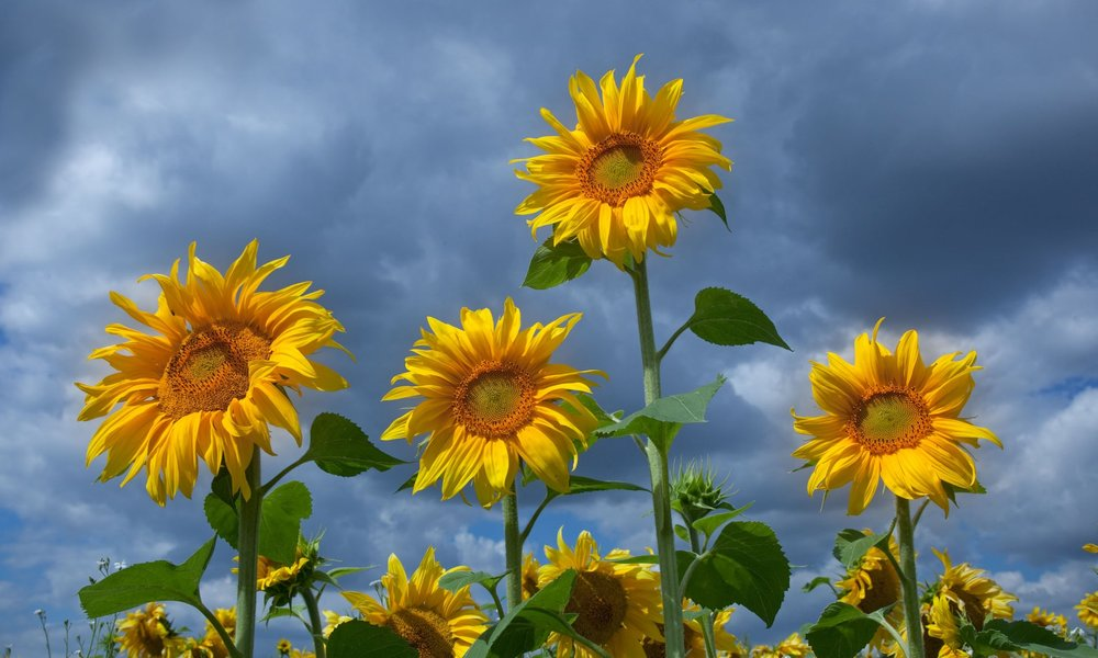 Sunflowers were planted to act as a windshield for bee nesting support areas Photograph: Alamy