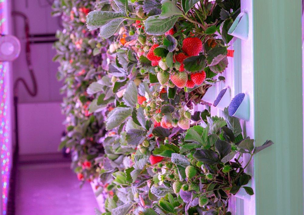 agricool strawberries 2.png.JPG
