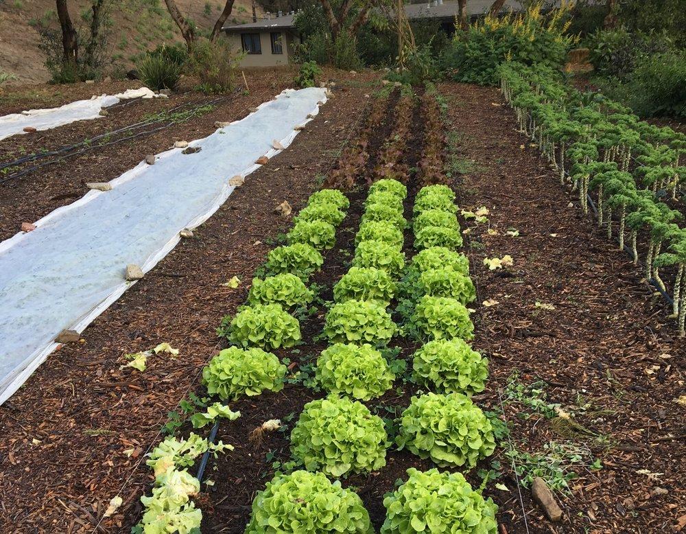 Lettuce & Kale